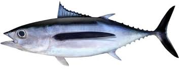 Pacific Alabacore tuna